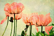 Floral Prints Mixed Media Prints - Pink Poppies in the Garden Print by Peggy Collins