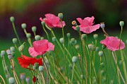 Kathy King - Pink Poppies