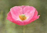 Pink Poppy Flower Print by Kim Hojnacki