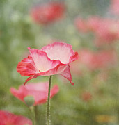 Poppies Home Decor Posters - Pink Poppy Poster by Kim Hojnacki