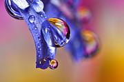Pink Primrose Dews On Blue Petals Print by Sinh Phun