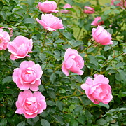 Corinne Rhode - Pink Profusion