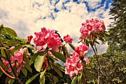 Azalea Bush Photo Prints - Pink rhododendron  Print by Malgorzata Larys