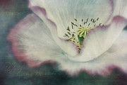 Poppies Photos - Pink Rimmed Beauty by Priska Wettstein
