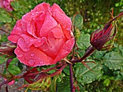 Amalia Suruceanu Art - Pink rose after rain