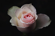 HJBH Photography - Pink Rose against black...