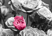 Black And White Digital Art Posters - Pink Rose Poster by Blink Images