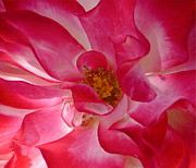 Pink Flower Prints Prints - Pink Rose Close Up Print by Denise Mazzocco