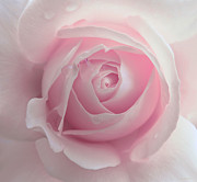 Rain Drop Prints - Pink Rose Flower Macro Print by Jennie Marie Schell