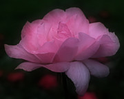 Smilin Eyes  Treasures - Pink Rose In Bloom