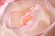 Plant Prints - Pink Rose Print by Joe Kozlowski