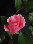 Photography By Govan; Vertical Format Prints - Pink Rose on Black # 5 Print by Andrew Govan Dantzler