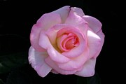David Rizzo Metal Prints - Pink Rose on Black Metal Print by David Rizzo