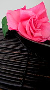 Styling Originals - Pink Rose on Black by Libby Ryding