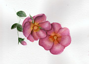 Knockout Paintings - Pink Rose on White by Cindy Malota
