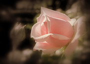 Featured Pyrography - Pink rose  by Pat Marzinsky