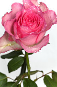 Paul Lilley Prints - Pink Rose  Print by Paul Lilley