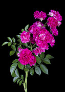 Aleksandr Volkov - Pink roses isolated on...