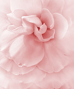 Raindrops Prints - Pink Ruffled Begonia Flower Print by Jennie Marie Schell