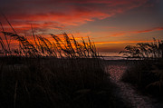 Oats Originals - Pink Sea-Oats by  Island Sunrise and Sunsets Pieter Jordaan