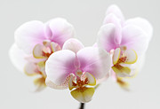 Orchid Photo Prints - Pink Sensation Print by Juergen Roth