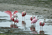 Florida Wildlife Photography Prints - Pink Spoonbills at Darling National Wildlife Refuge Print by Bruce Gourley
