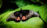 Insects Digital Art Originals - Pink Spotted Swallowtail by Jon Burch Photography