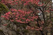 Pink Spring - Dogwood Filigree And Lace Print by Georgia Mizuleva