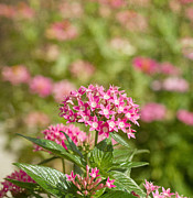 Fort Myers Prints - Pink Star Cluster Flower Print by Kim Hojnacki