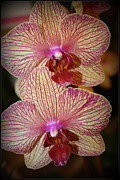 Tropical Photographs Originals - Pink Striped Orchids by Dora Sofia Caputo