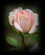 Pink Tea Rose Print by Chalet Roome-Rigdon