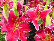 Tiger Lillies Photos - Pink Tiger Lilies  by Buzz  Coe