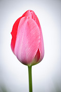 Single Posters - Pink tulip Poster by Elena Elisseeva