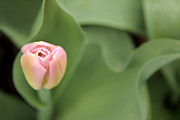 Spring Florals Photos - Pink Tulip Flower by Jennie Marie Schell