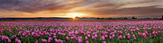 Puget Sound Photographs Prints - Pink Tulip Harmony Print by David  Forster