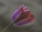 Ron Roberts Photography Prints - Pink Tulip Print by Ron Roberts