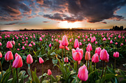 Puget Sound Photographs Prints - Pink Tulip Serenity Print by David  Forster