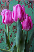 Garry Gay - Pink tulips against...