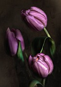 Hugo Bussen - Pink Tulips On Black...