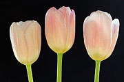 Juergen Roth Art - Pink Tulips Splendor by Juergen Roth