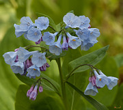 Spring Flowers - Pink Virginia Bluebells or Virginia Cowslip DSPF263 by Gerry Gantt