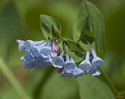 Spring Flowers - Pink Virginia Bluebells or Virginia Cowslip DSPF271 by Gerry Gantt