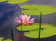 Pink Water Lily And Dragonfly Print by Sherman Perry