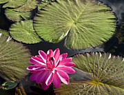 Nymphaea Plants Framed Prints - Pink Water Lily II Framed Print by Heiko Koehrer-Wagner