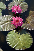Nymphaea Plants Framed Prints - Pink Water Lily III Framed Print by Heiko Koehrer-Wagner