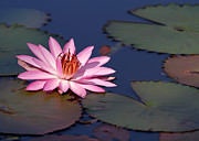 Hawaiian Pond Prints - Pink Water Lily in the Spotlight Print by Sabrina L Ryan