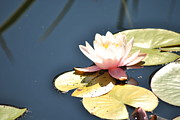 Waterlily Poster Posters - Pink Waterlily Poster by Paulina Roybal