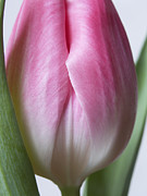 Interior Still Life Posters - Pink White Green Flower / Spring Tulip Floral Close Up Fine Art Photograph / Macro Flowers  Poster by Artecco Fine Art Photography - Photograph by Nadja Drieling
