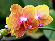 Hybrid Metal Prints - Pink Yellow Orchid Metal Print by Rona Black