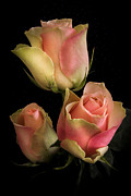 Hugo Bussen - Pink Yellow Roses on a...